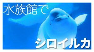 浜田といえばアクアスのシロイルカが有名です。西日本で唯一シロイルカが見られる場所です!