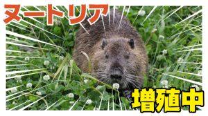 浜田市でもヌートリアが増殖中!発見した際の対応方法